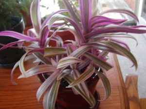 Purple and green Moses in the Cradle Plant