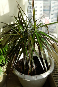 Thin leaves on dracaena marginata
