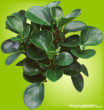 Thick green oval leaves and stems on Peperomia plant