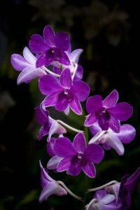 Purple phaleonopsis type dendrobium orchid