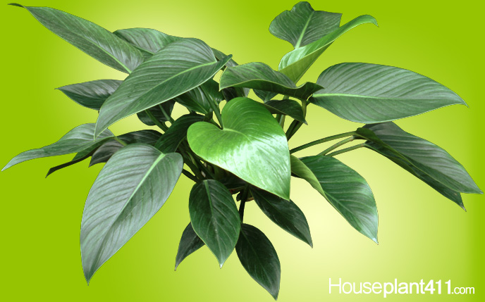 Glossy, dark green, thick leaves of Philodendron Congo are spaced very close to each other on a single stem.