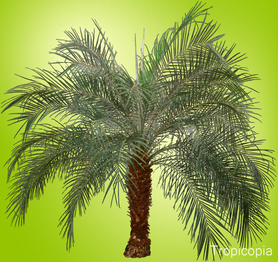 Green, arching Date Palm