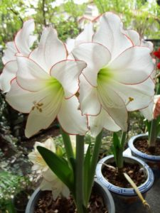 White with red edges Amaryllis plant flowers