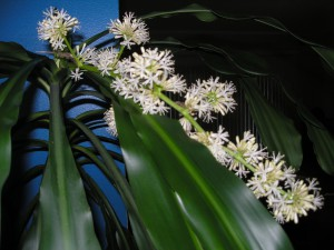 dracaena-corn-plant-in-bloom