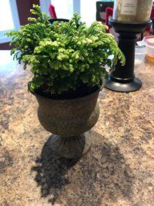 leaf-hawaiian-schefflera-plant