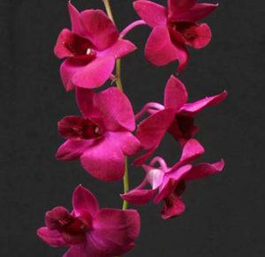 Plum purple Dendrobium Orchid