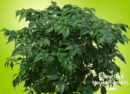 Lacy-looking, glossy, green foliage on China Doll plant