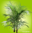 Large, dark green fronds on a Majesty Palm