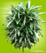 Shiny dark green fronds with blunt tips grow out of hairy stems