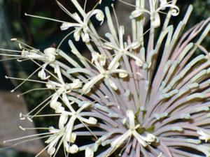 Sansevieria kirkii pulchra