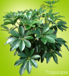 Shiny, green Hawaiian Schefflera Plant
