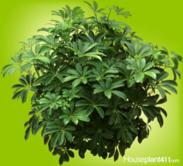 Learn how to identify and care for a Hawaiian Schefflera - Arboricola
