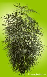 Dark green. saw toothed False Aralia (Schefflera-elegantissima)