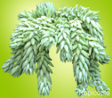 Thick, light green Donkey's Tail Plant