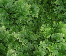 Small bright green Selaginella Plant