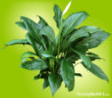 Large green leaves and white flower on Peace Lily Plant