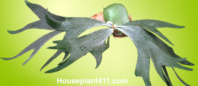 Thick and green leaves shaped like elk horns are covered in fine hairs that give a Staghorn Fern a gray or silver look