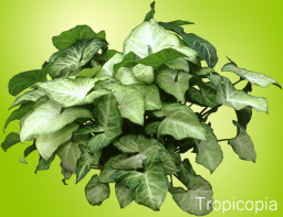 White and green Arrowhead Plant