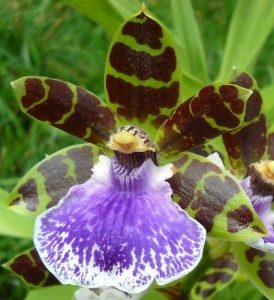 Zygopetalum orchids have dramatic colored petals