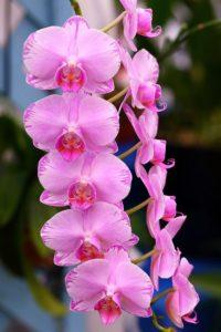 Dark pink phalaenopsis orchid flowers