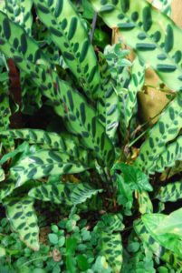 Rattlesnake Calathea has long, green leaves with dark decorative spots