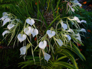 brassavola nodosa orchid plants have white almost heart shaped flowers