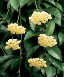 Yellow flowered hoya plant