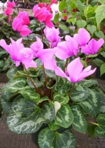 Lavendar colored Cyclamen Plant