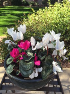 Red and white flowers on cyclamen plant