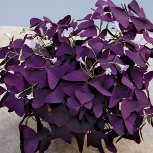 Shamrock Plant with purple leaves and pink flowers
