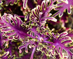 Purple, cream, and green coleus plant.