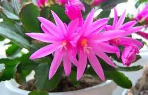 Deep pink Easter Cactus