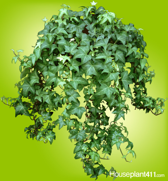 How to Grow Care for an English Ivy Plant | Houseplant 411 Common Houseplant Ivy on common plants used in baskets florist, common house plant problems, common household plants, round leaves with ivy, variegated ivy, common names of indoor plants, hedera glacier ivy,