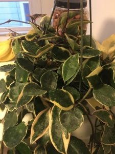 image-240-e1483820745677-225x300 Variegated Leaves House Plant With Pink Flowers on house plant identification, house plants with fuzzy leaves, house plant with green leaves pink veins, house plant with pink flowers,