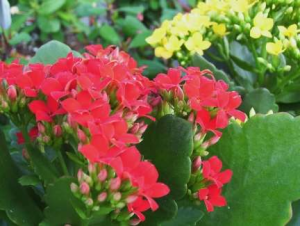 Red, yellow Kalanchoe houseplants
