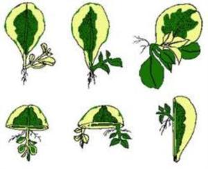 Chart of Plant Propagation Basics