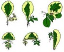 Offsets developing from plants