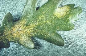 spider mite leaf damage