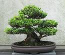 Green Bonsai Plant