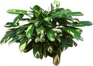 Green and yellow Ctenanthe Plant
