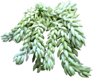 Small, plump leaves on Donkey's Tail Plant.