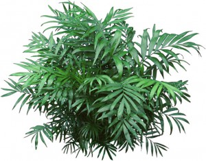 Green, compact, Parlor palm