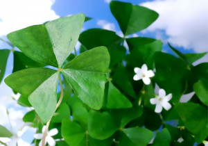 Green shamrock plant with white flowers