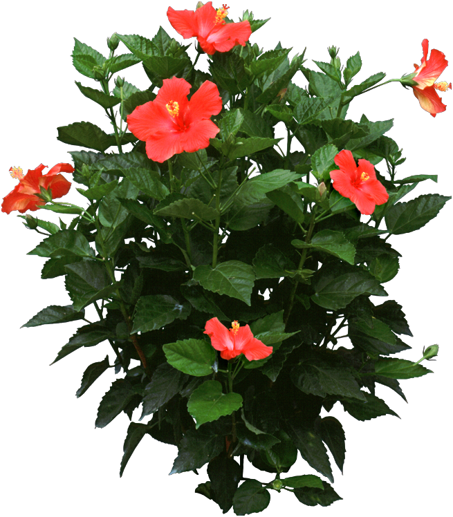 Hibiscus Plant Care - Identify and Care for Plants | HousePlant411 ...