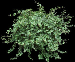 Green Creeping Fig Plant