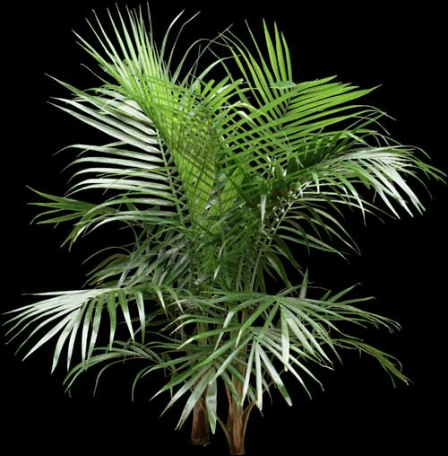 how to take care of a majesty palm plant