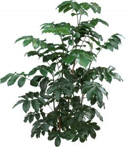 Dark green Natal Mahogany tree