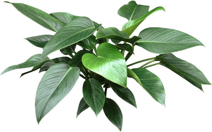 http://www.houseplant411.com/wp-content/uploads/oldimages/Plant_133/634643786123052908.png