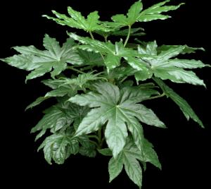 Shiny green Fatsia Plant
