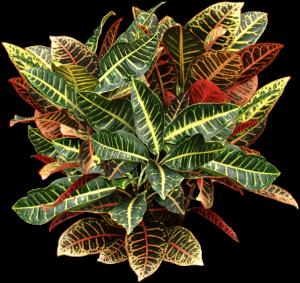 Mult - colored Croton plant